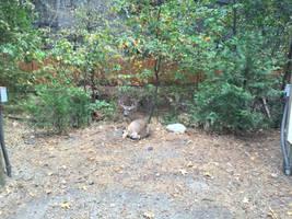Mule Deer Nap by Yosemite-Stories