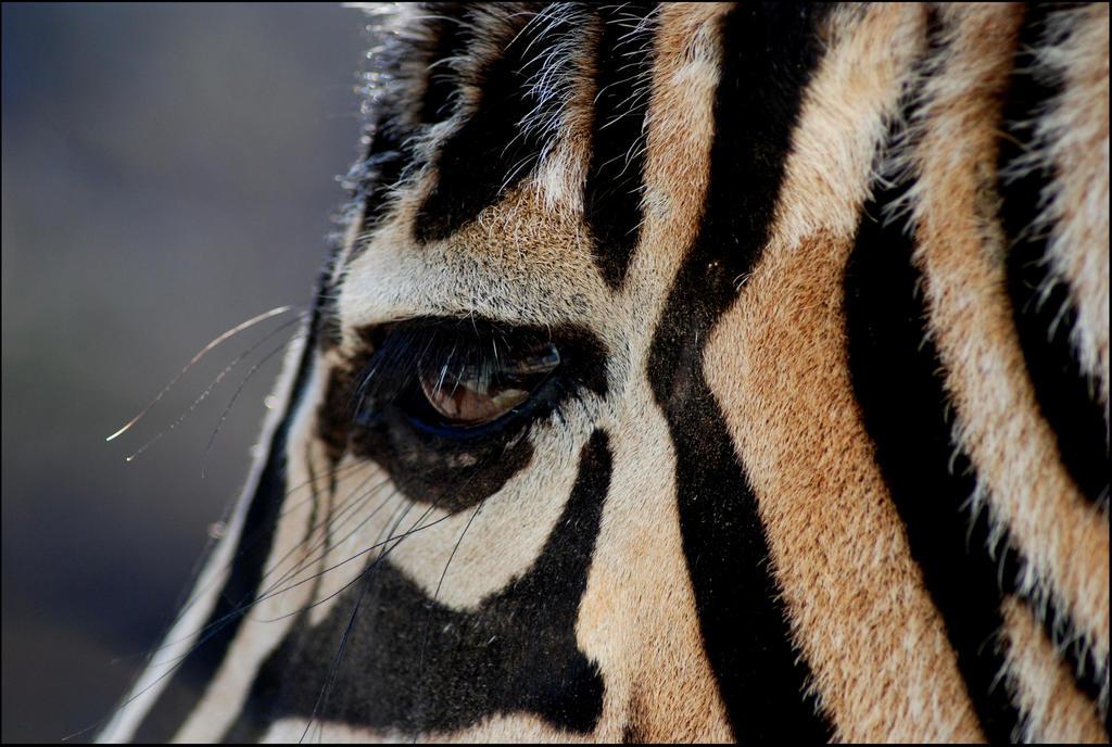 Zebra Eyelashes