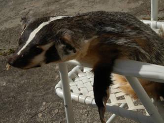 Badger Plush