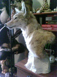 Teaser...Coyote Pedistal
