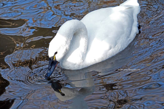 The Coy Swan