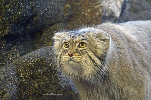 Pallas Cat Portrait