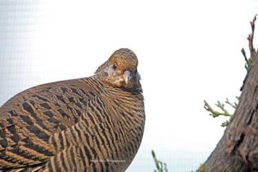 Miss Pheasant Is Not Impressed