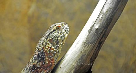 Chinese Alligator Lizard