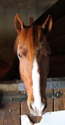 Reddy in the Barn