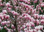 Magnolia Explosion