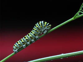 Black Swallowtail Caterpillar on red by kaikaku