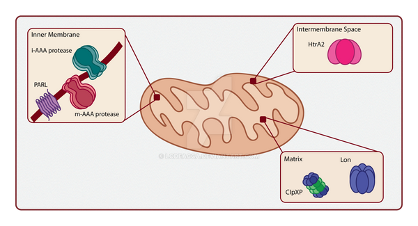 Mitochondrial proteases by lodeacca