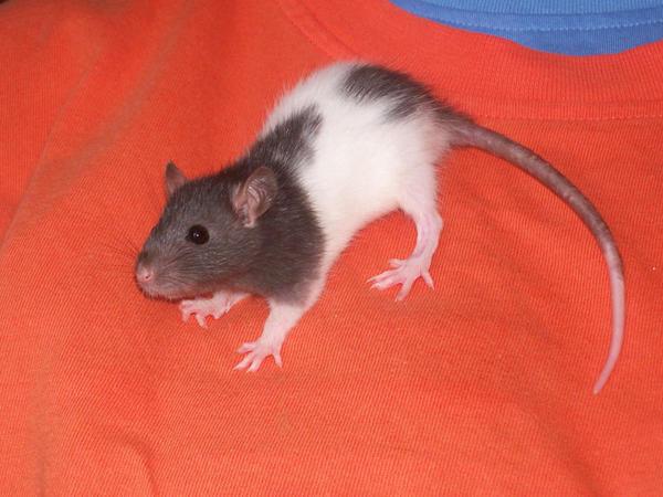 Rat 1 by WrittenPhotographs