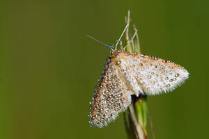 Moth in dew by SzymonMic