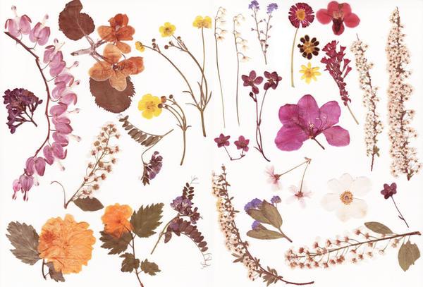 Pressed flowers stock by Rocktuete