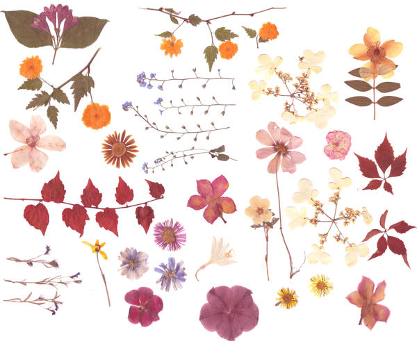 Pressed flowers stock 2 by Rocktuete on DeviantArt