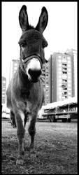 Donkey..:D by AiKa2