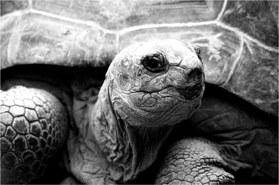 Turtle by Constant-Wegman