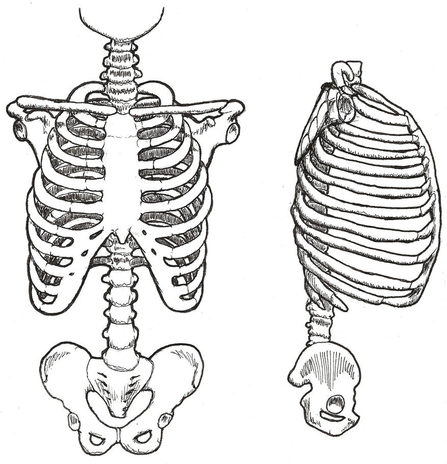 drawing of the rib cage by milzs on deviantart