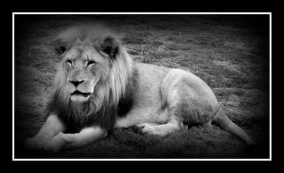 lion by CHIEFironhawk