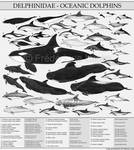 The dolphin family - Delphinidae