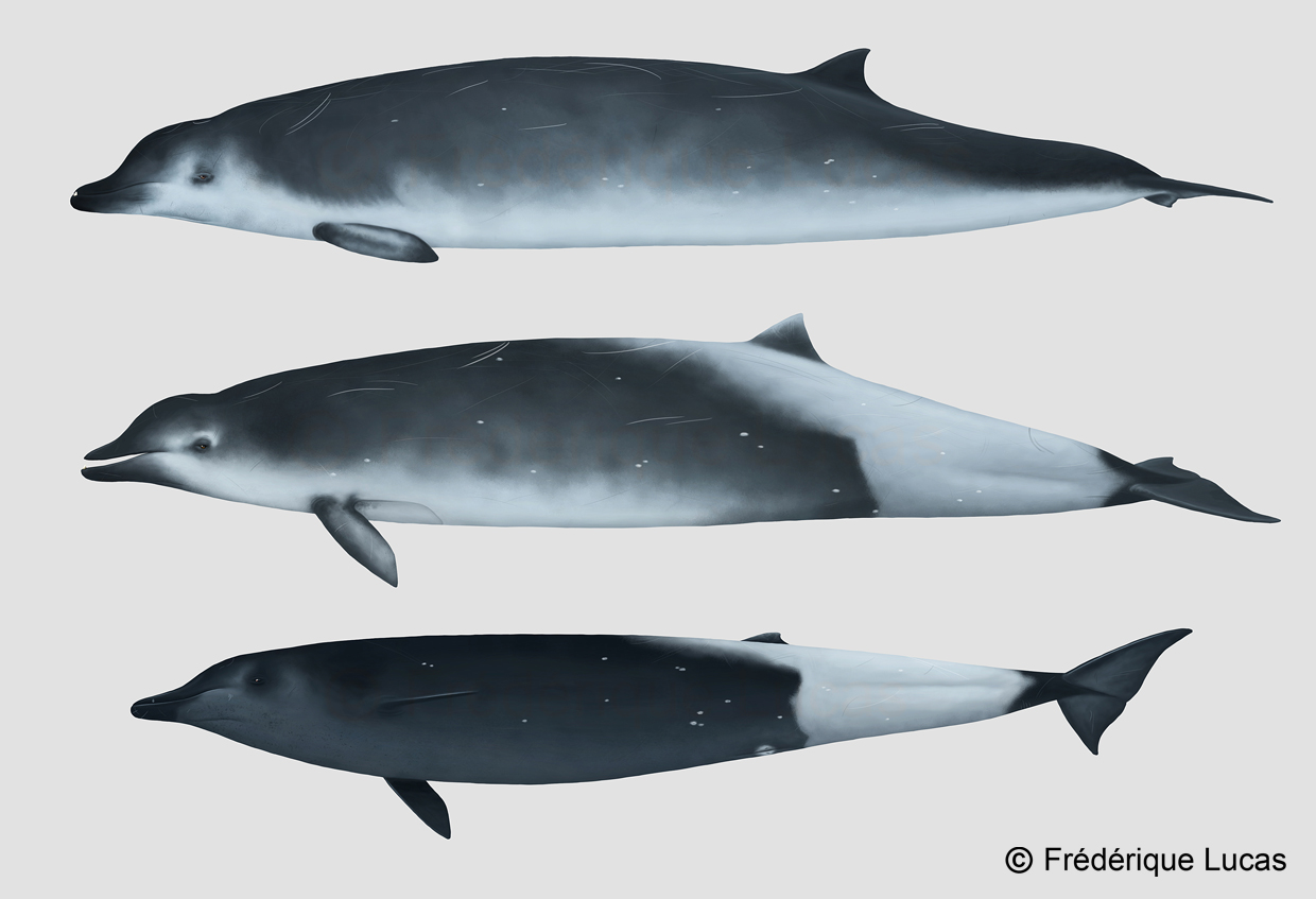 True's beaked whale - M. mirus by namu-the-orca