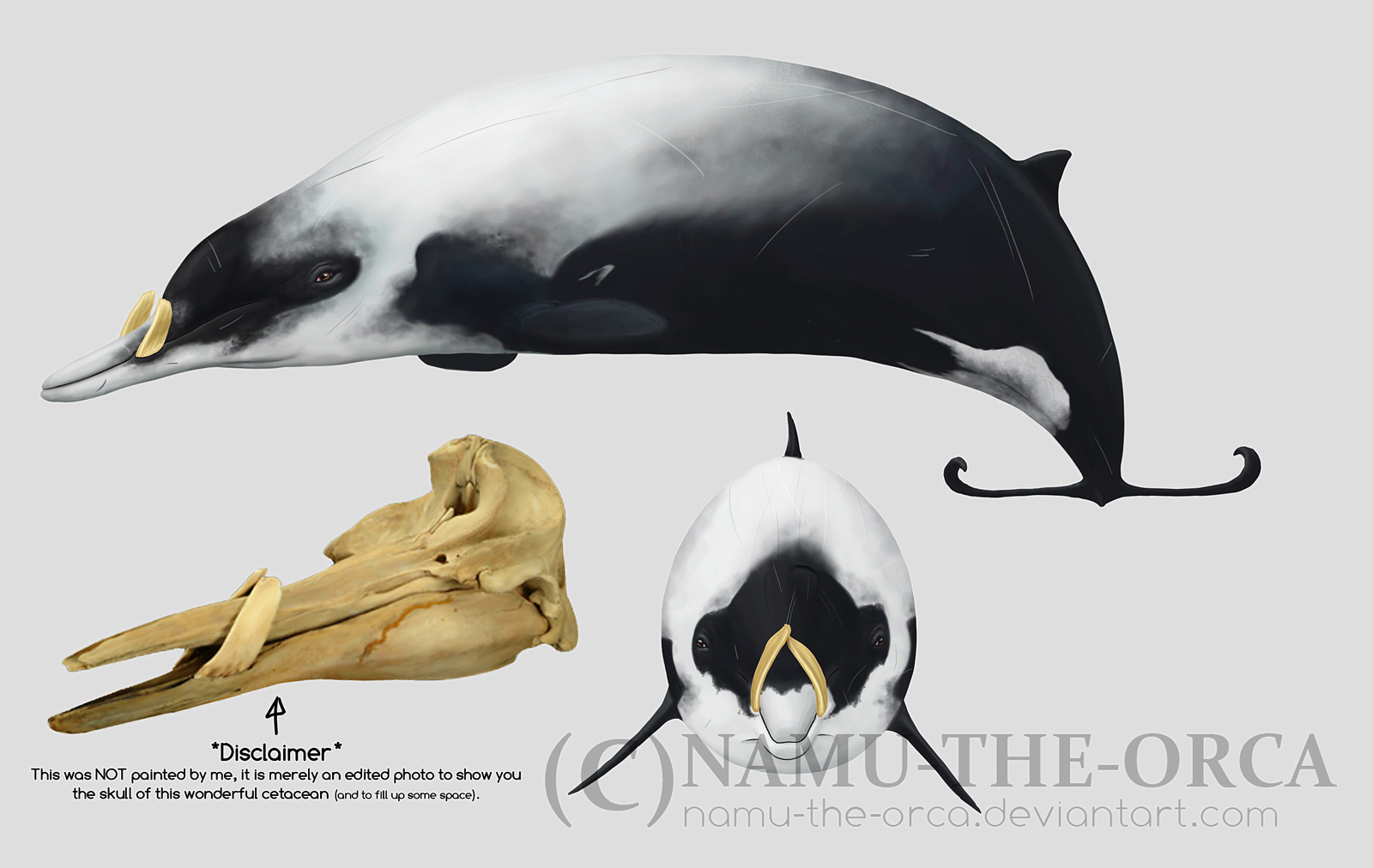 Strap-toothed whale - M. l. by namu-the-orca