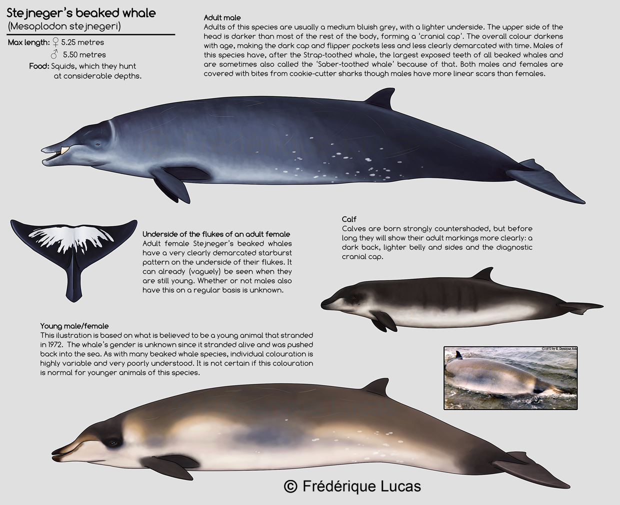 Stejneger's beaked whale by namu-the-orca