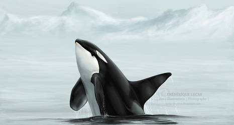 Wild orca breach - for Faust