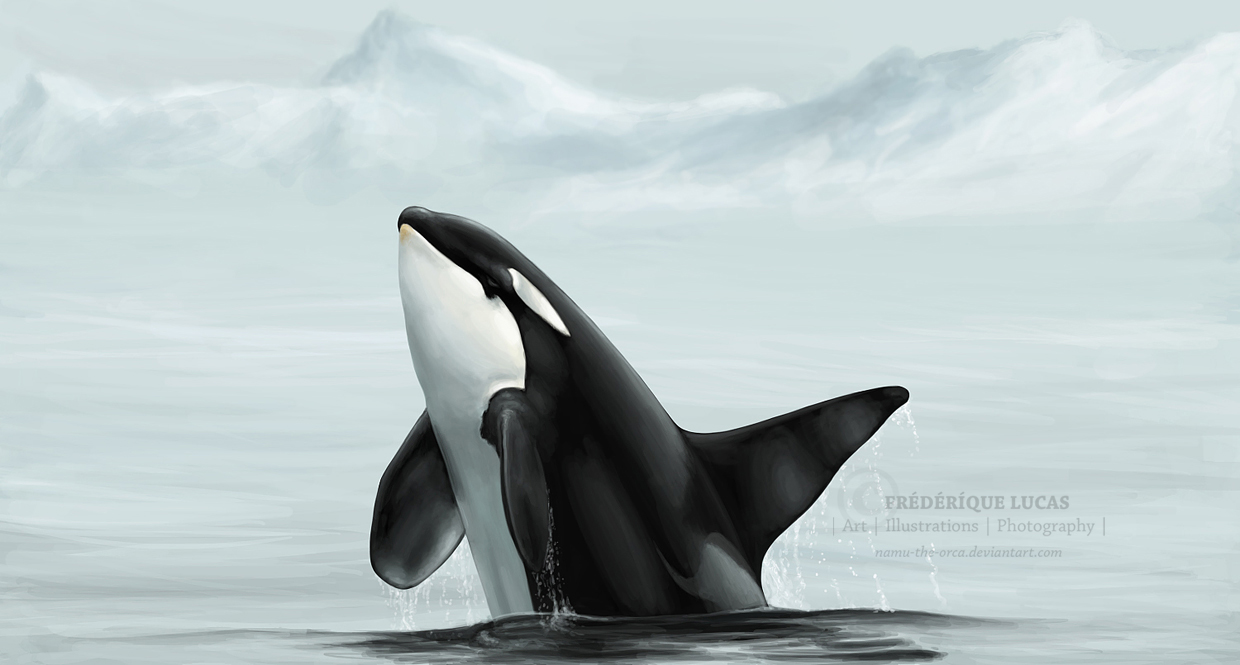 Wild orca breach - for Faust by namu-the-orca