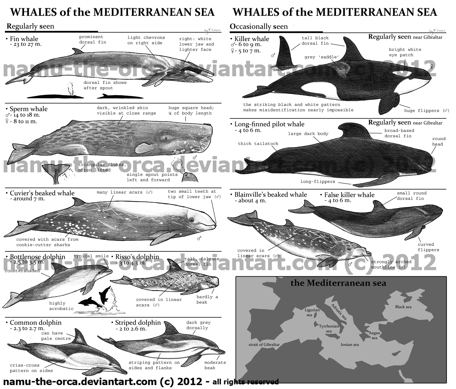 ID guide to mediterranean whales by namu-the-orca on DeviantArt