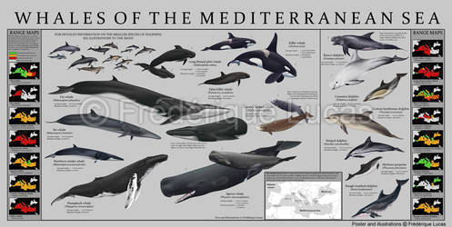 Whales of the Mediterranean sea - POSTER