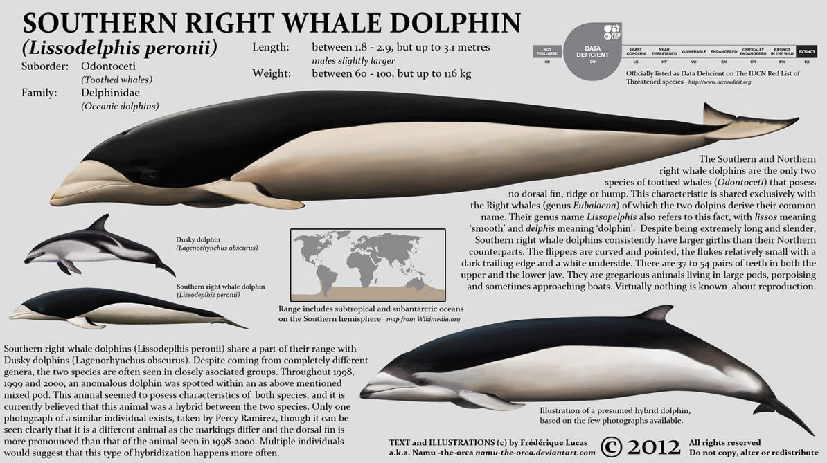 Southern Right Whale Dolphin By Namu The Orca On Deviantart