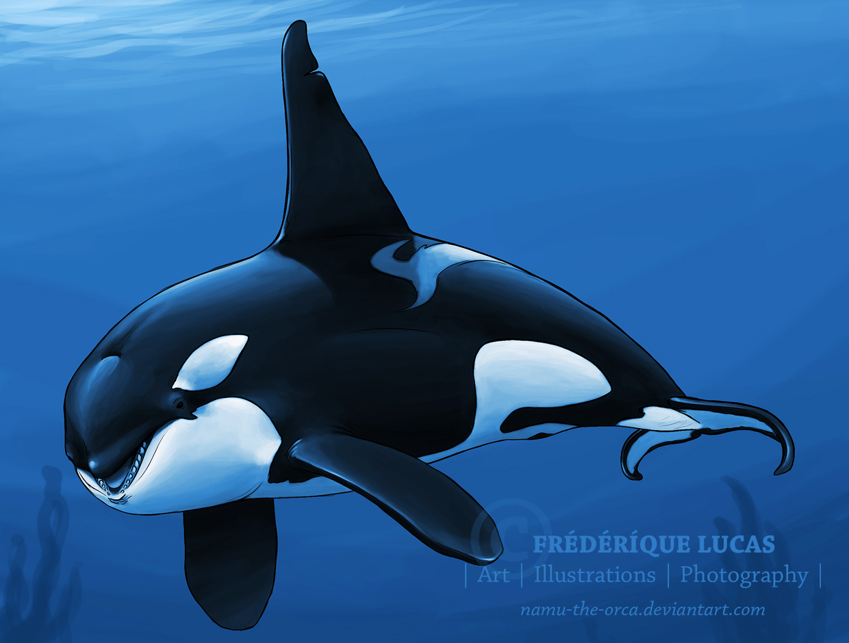 Killer whale underwater by namu-the-orca