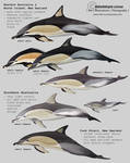 Common dolphins of Australia and New Zealand
