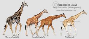Giraffe subspecies