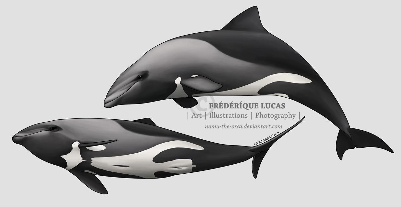 Haviside's dolphin by namu-the-orca