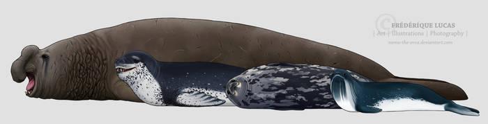 Antarctic seals by namu-the-orca