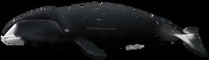 Bowhead whale (Balaena mysticetes)