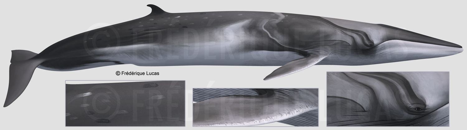 The real Omura's whale