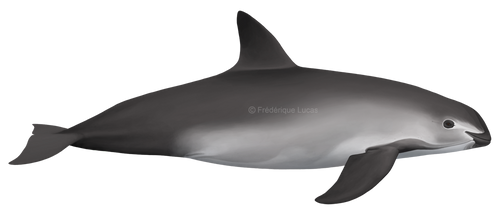 The Vaquita (Phocoena sinus) by namu-the-orca