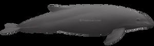 Burmeister's porpoise (Phocoena spinipinnis)