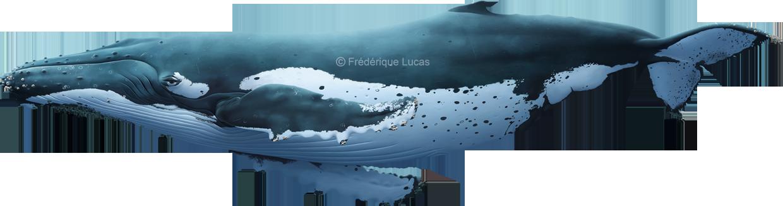 Lifesize humpback whale