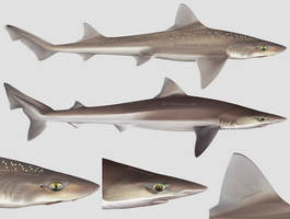 Starry smooth-hound + Tope shark