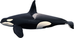Killer whale (Orcinus orca) SEALIFE by namu-the-orca