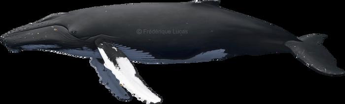 Humpback whale (Megaptera novaeangliae) SEALIFE