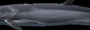 Sei whale (Balaenoptera borealis) SEALIFE