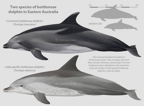 Two species of bottlenose dolphin in Eastern AU
