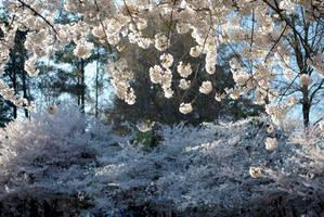 Flowering cherries... by herrerojulia