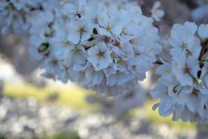 Sakura... by herrerojulia