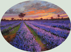 Evening on the lavender field.