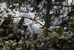 Apple Blossom - Norway