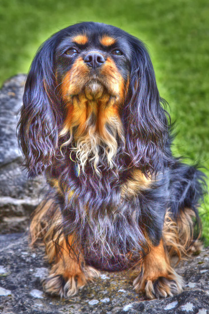 Cavalier King Charles by KIKIphotolove