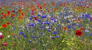 Cornflower and Poppy meadow